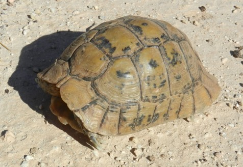Balade des tortues oued Tamaloukt